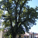 Ancien Tilleul St Maurice multi-centenaire