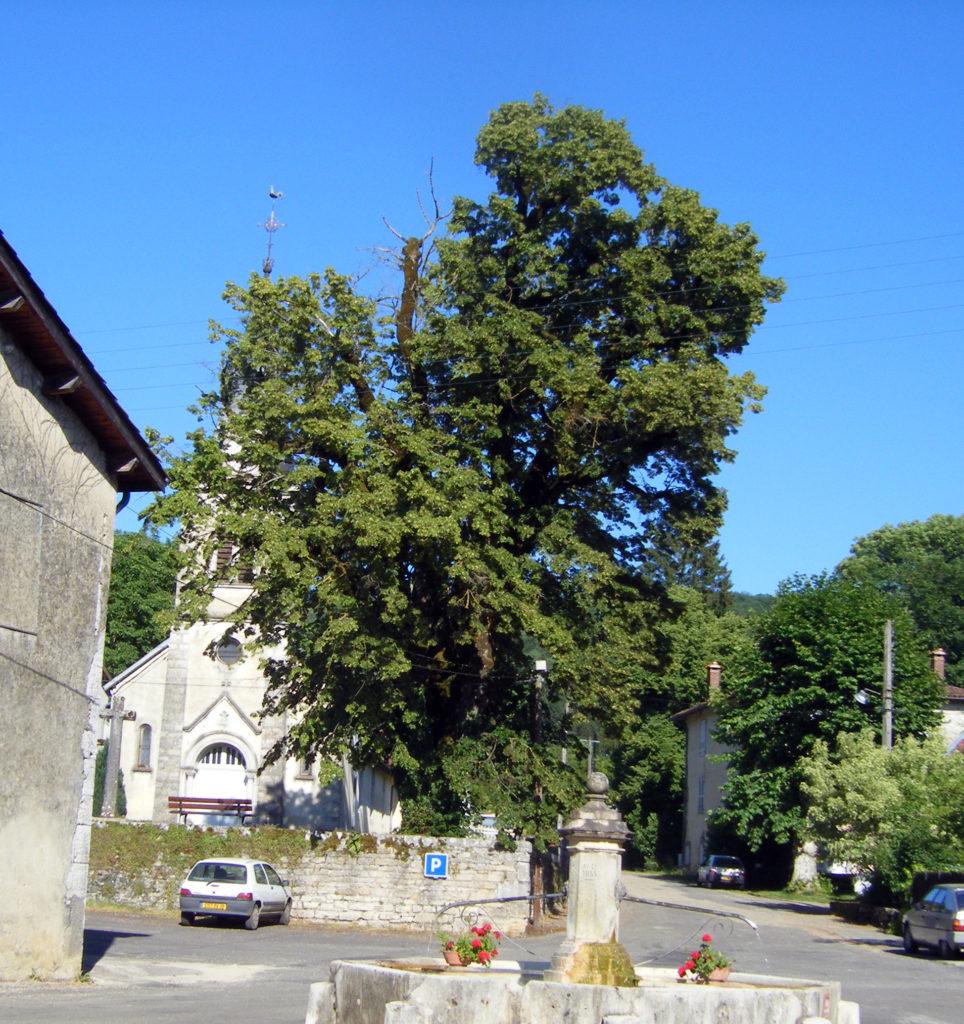 Le tilleul Saint-Maurice en 2008